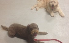 Dog Training Labradoodle Dexter